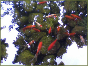 goldfish in a clear pond with rocks visible below and reflection of maple leaves on the water