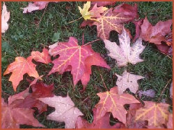 multi-colored fallen maple leaves