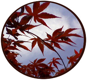 leaves of japanese maple tree against blue sky with high white haze